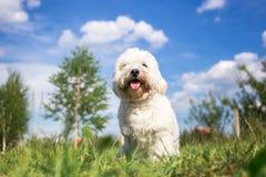Coton de Tulear dog portrait Royalty Free Stock Image