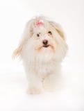 Coton de tulear dog Royalty Free Stock Photos