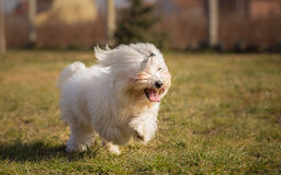 Coton de Tulear Stock Photography