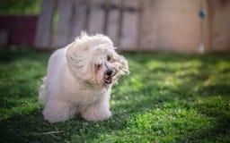 Coton de Tulear dog Stock Images