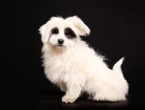 Coton de Tulear dog Stock Photography