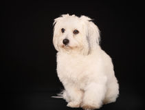 Coton de Tulear dog Royalty Free Stock Images