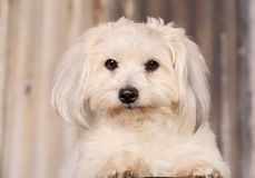 Coton de Tulear dog Stock Photo