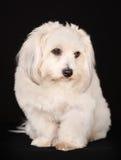 Coton de Tulear dog Royalty Free Stock Image