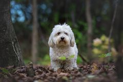 Coton de Tulear dog in wood Royalty Free Stock Photography