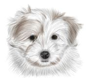 Coton de Tulear Royalty Free Stock Photo