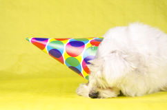 Coton de Tulear Royalty Free Stock Images