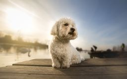 Coton de tulear portrait dog on dock Royalty Free Stock Images