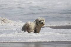 Coton de Tulear puppy playing in the waves. Young Coton playing in foamy water at the beach Royalty Free Stock Images