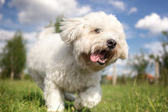 Coton de Tulear running and playing Royalty Free Stock Photos