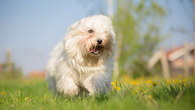 Coton de Tulear running and playing Stock Image