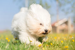 Coton de Tulear running and playing Royalty Free Stock Image