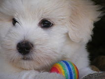 Coton de tulear small puppy portrait Stock Image