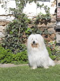 Coton de Tulear Stock Photo