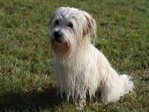 Coton de Tulear Stock Photos
