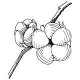 Coton de vecteur Fleur botanique florale Wildflower sauvage de feuille de ressort d'isolement Photographie stock