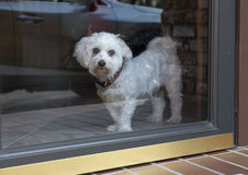 A Coton dog wistfully looking outside Royalty Free Stock Photos