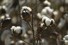 Coton Plant Stock Image