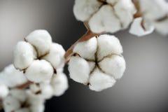Coton pur Photographie stock
