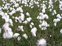 Coton sauvage de marais. Images stock
