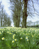 Coton spring drive. Daffodils in bloom Stock Photography