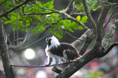 Coton-top Tamarin Royalty Free Stock Images