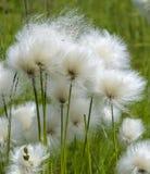 Cotone dell'Alaska fotografie stock libere da diritti