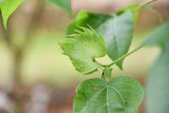 Cotone di albero Fotografie Stock