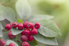 Cotoneaster Stock Photos