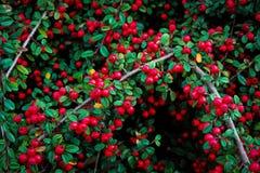 Cotoneaster Photographie stock libre de droits