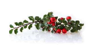 Cotoneaster royalty free stock photo