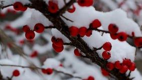 Cotoneaster Royaltyfria Foton
