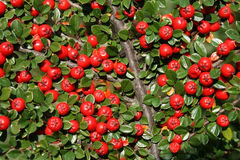 Cotoneaster Royalty Free Stock Image