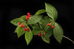Cotoneaster against black. Cotoneaster leaves and ripe red berries isolated against black royalty free stock photo