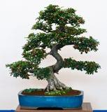 Cotoneaster als Bonsai Royalty-vrije Stock Fotografie