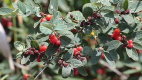 Cotoneaster-Anlage stock footage
