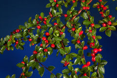 Cotoneaster with berries Royalty Free Stock Image