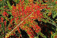 Cotoneaster berries. Royalty Free Stock Image