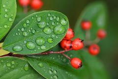 Cotoneaster berries and leaves details Royalty Free Stock Photo