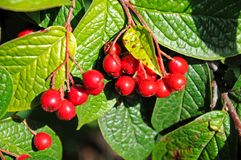 Cotoneaster berries. Royalty Free Stock Images