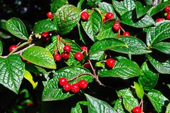 Cotoneaster berries. Red autumn berries on a cotoneaster plant stock photos