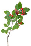Cotoneaster branch Stock Photography