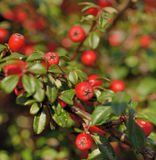 Cotoneaster Stock Image