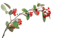 Cotoneaster branch isolated Stock Photos