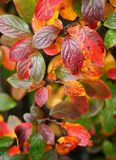 Cotoneaster bush with autumn leaves stock photography