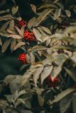 A Cotoneaster bush with lots of red berries on branches, autumnal background. Close-up colorful autumn wild bushes with red berries in the park shallow depth Stock Photo