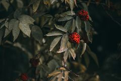 A Cotoneaster bush with lots of red berries on branches, autumnal background. Close-up colorful autumn wild bushes with red berries in the park shallow depth Stock Photography