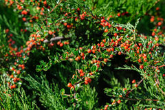 Cotoneaster Bush Stock Photo
