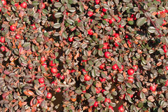 Cotoneaster Royalty Free Stock Images