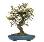 Cotoneaster dammeri bonsai tree, isolated Royalty Free Stock Images